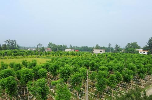 世界热带,暖亚热带地区广泛栽作行道树