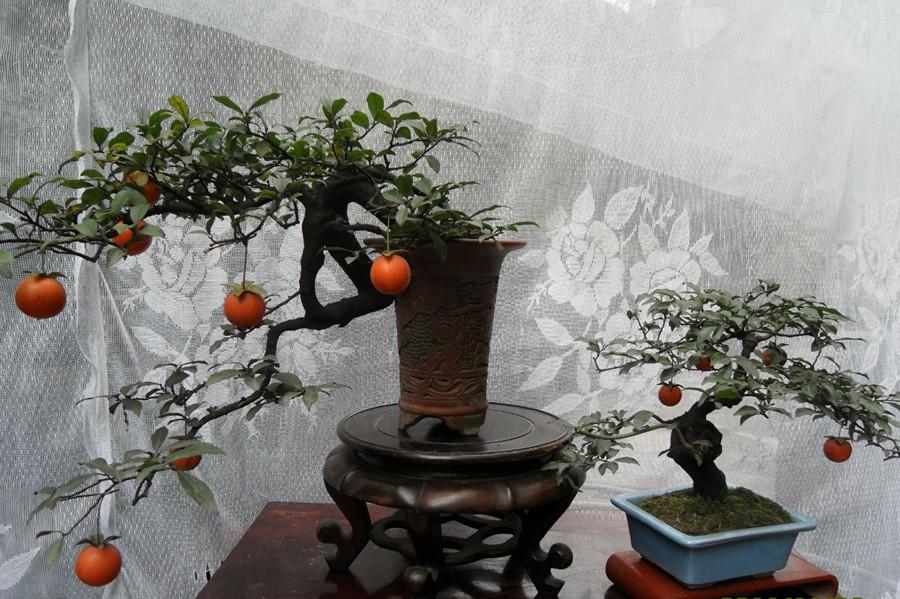 柿子树桩盆景图片大全